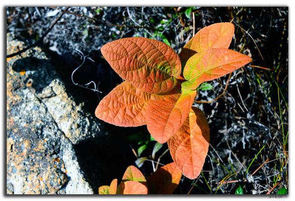 HK0100.Lamma Island.Pflanze