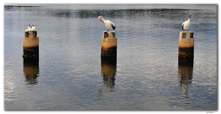AU1466.Lakes Entrance.Pelicans