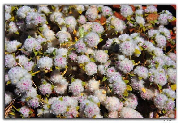 AU0330.Karratha.Blumen
