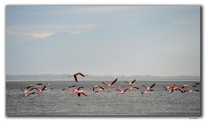 GR0071.Kerkini See.Flamingos