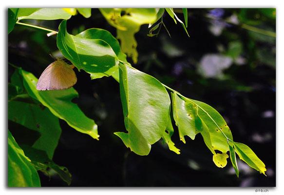ID0005.Denpasar.Schmetterling