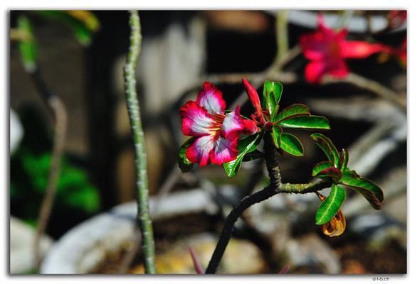 ID0001.Denpasar.Blume