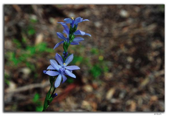 AU0764.Quinninup.Blume