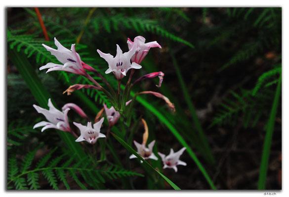 AU0766.Quinninup.Blume