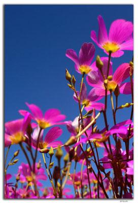 AU0366.Blume