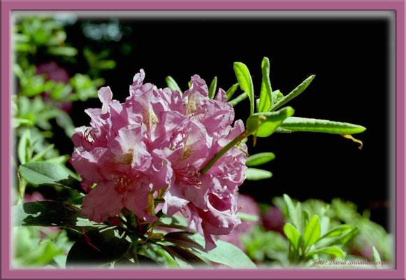 A0190.Rhododendron.Bremen.
