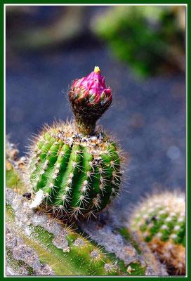LAN020 Jardin de Cactus