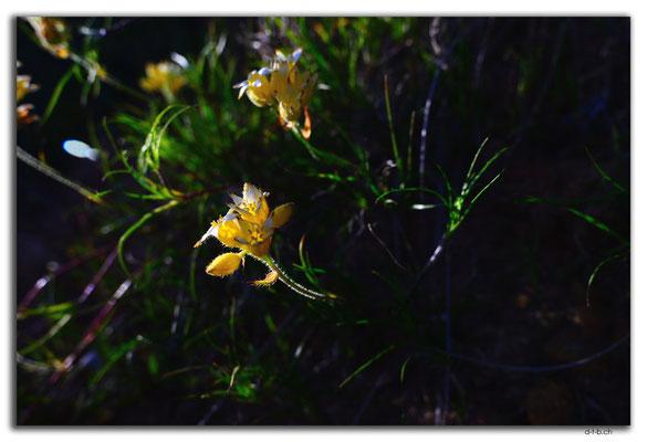 AU0503.Geraldton.Wildblume