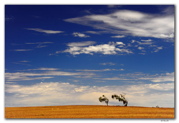 AU1004.Eyre Peninsula.Bäume im Wind