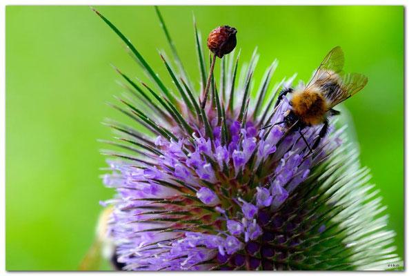 DE124.Jüchen.Biene auf Wilder Karde