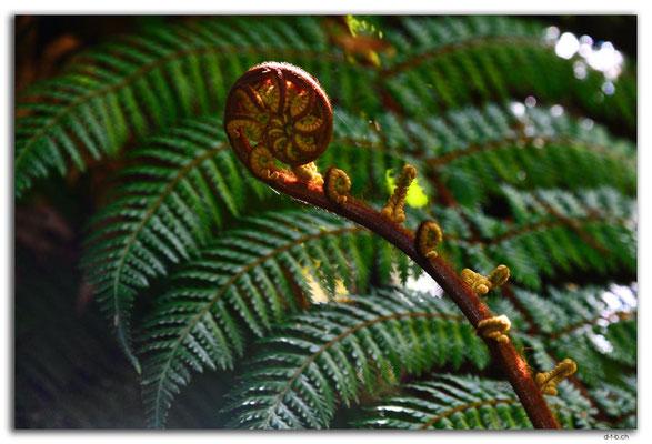 NZ0928.Curio Bay,Living Forest.Fern
