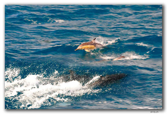 NZ0142.Bay of Islands.Common Dolphins