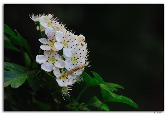 NZ0431.Mount Lees Reserve.Baumblüte