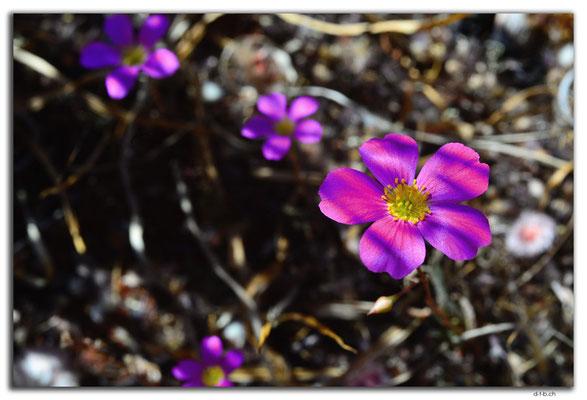 AU0346.Blume