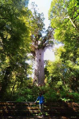 Neuseeland.Tane Mahuta.Largest Kauri