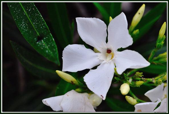LAN009 San Bartholomé Blume