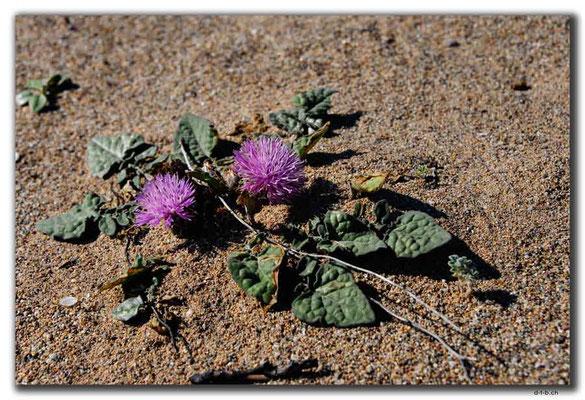 TR0591.Golden Beach.Blume