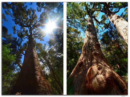 AU0794.GiantTingle Tree