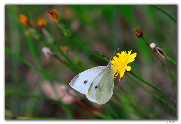AU1150.Great Ocean Road. Schmetterling