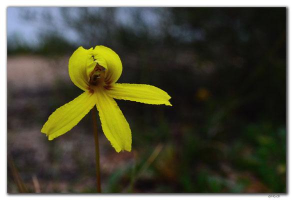 AU0911.Nuytsland Nature Reserve.Orchid