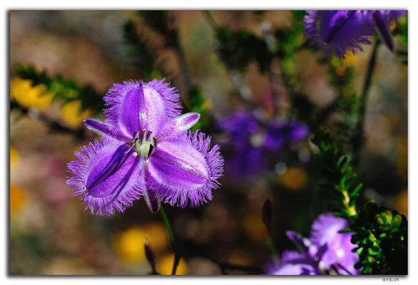 AU0454.Kalbarri N.P.Fringe Lily