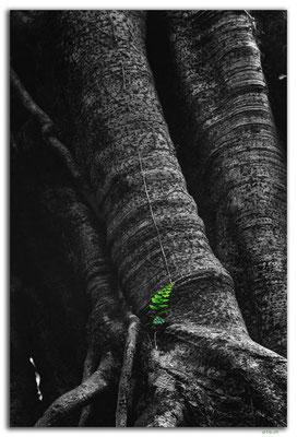 ID0188.Bedugul.Bot.Garten.Giant Fig Tree
