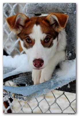 SE0119.Husky,Lenox