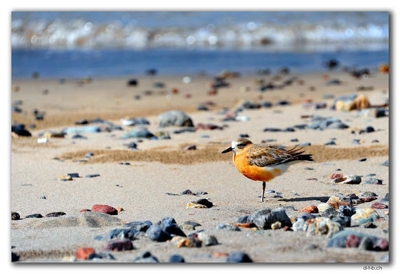 NZ0167.Russell.Waitata Beach.New Zealand dotterel shore bird (Charadrius obscurus)