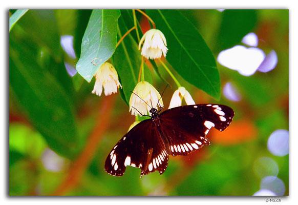 ID0013.Denpasar.Bali Museum.Schmetterling