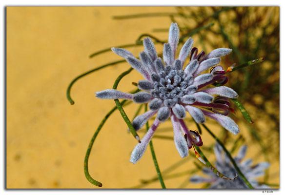 AU0841.Neds Corner Rd.Blume