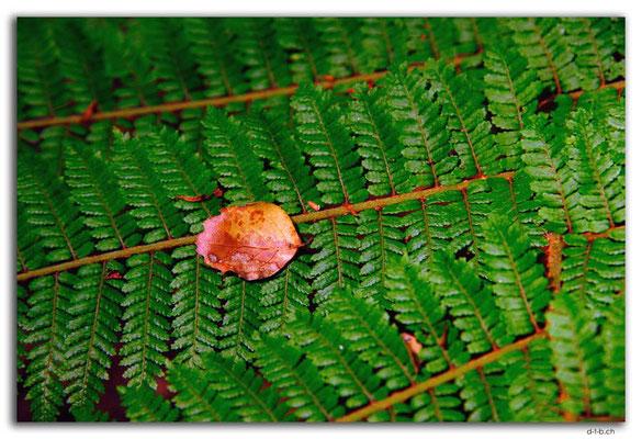 NZ0530.Kahurangi N.P.Fern