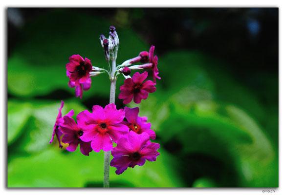 NZ0425.Mount Lees Reserve.Blume