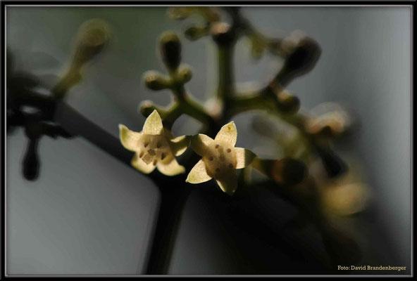 C2662 Hong Kong Cinnamonum camphora