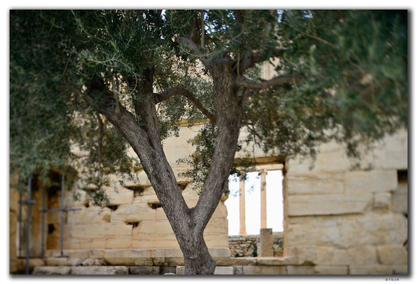 GR0362.Athen.Akropolis.Ölbaum