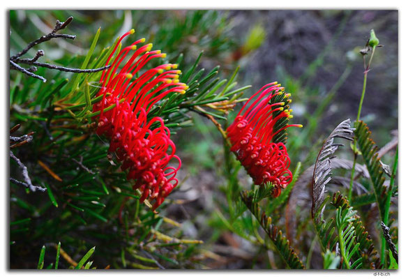 AU0702.Perth.Kings Park.Red Combs