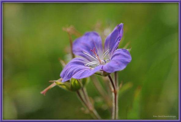 A0376.Arosa.Blume.CH