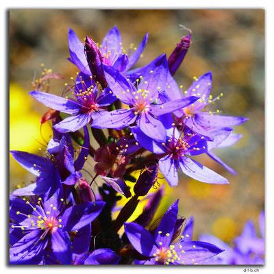 AU0627.Blume
