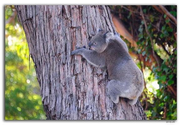 AU1144.Portland.Koala