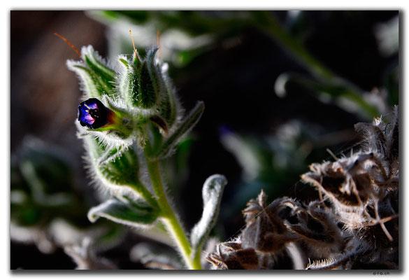 TR0479.Gazipasa.Blume