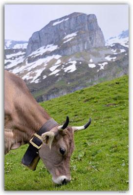 A0929.Kuh vor Monolith.Hürithal.CH