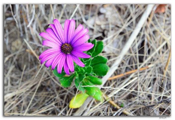 AU1318.Kettering.Blume