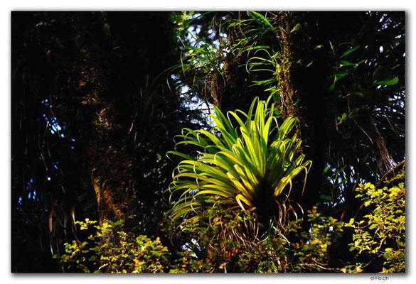 NZ0077.Parasitenpflanze