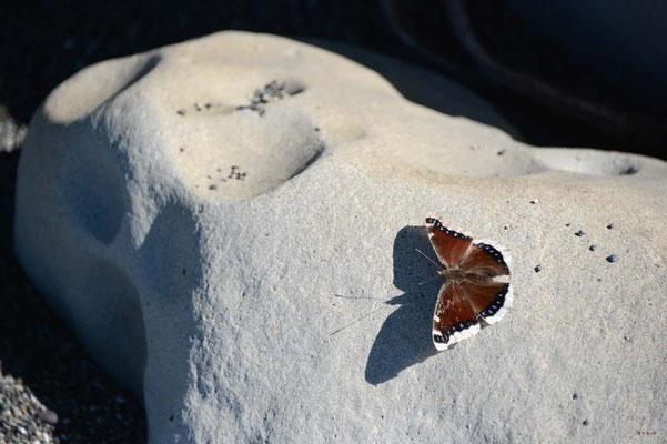 CA0078 WCT Schmetterling
