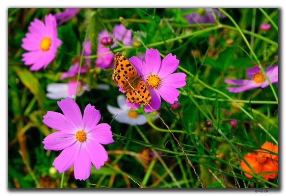 KR0145.Schmetterling in Blumenwiese