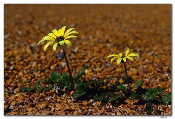 AU0444.Kalbarri N.P.Blumen