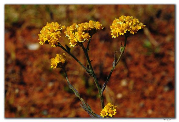 AU0391.Blume