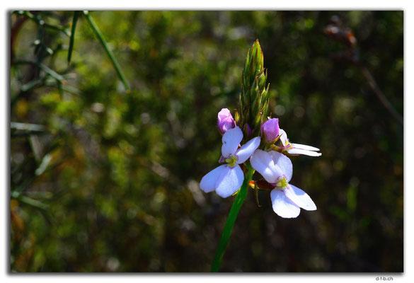 AU0610.Nilgen N.R.Orchid