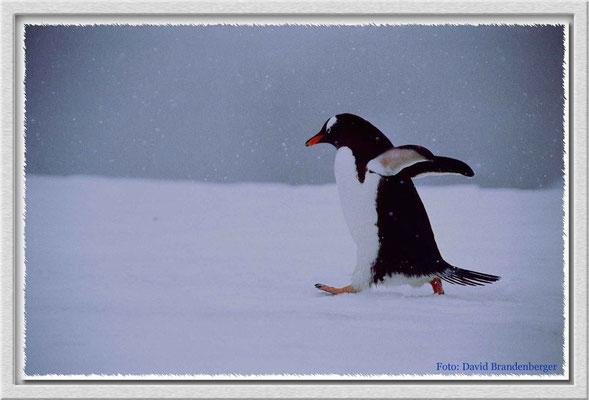 114.Eselspinguin,Dorian Bay,Antarktis