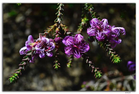 AU0843.Neds Corner Rd.Blume