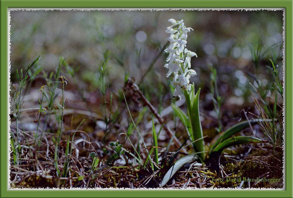 A0169.Orchidee.Gotland.SE